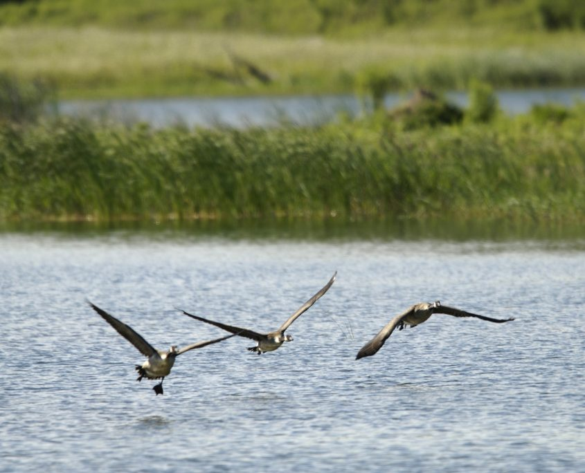 Geese flying in the quarry